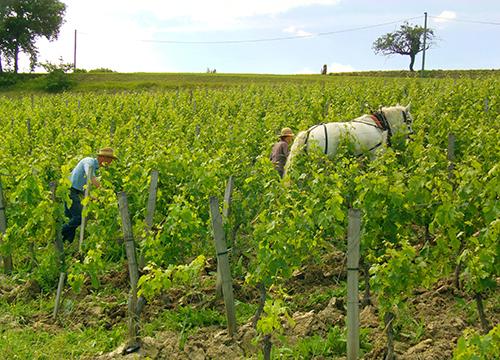 attelage dans les vignes Carlier